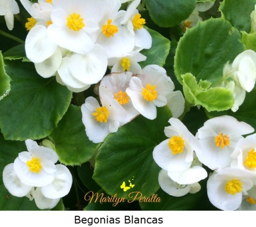 Begonias Blancas