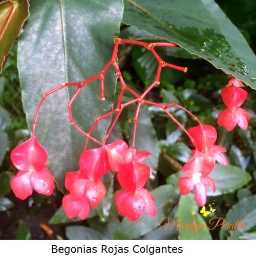 Begonias rojas
