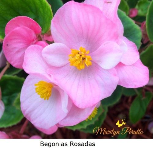Begonias Rosadas