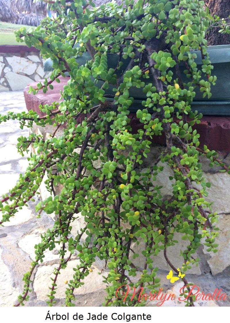 Árbol de Jade colgante