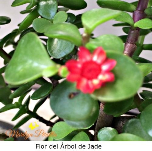 Flor del Arbol de Jade