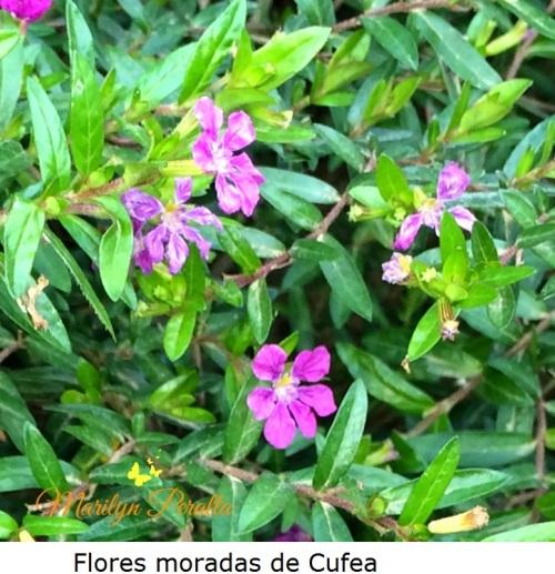 Flores moradas de Cufea