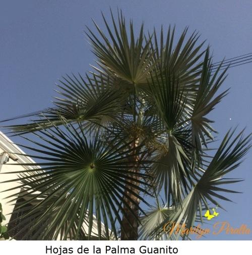 Hojas de la Palma Guanito
