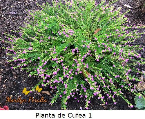 Planta 1 de Cufea