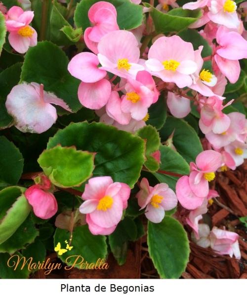 Planta de Begonias