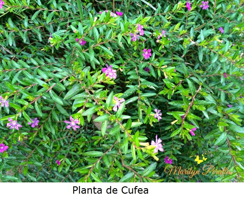 Planta de Cufea