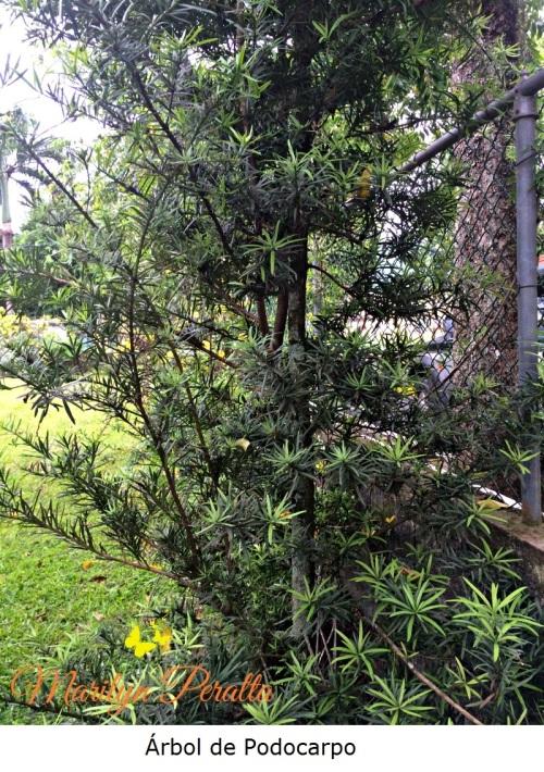 Planta de Podocarpo