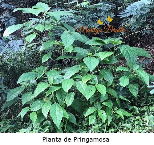 Planta de Pringamosa