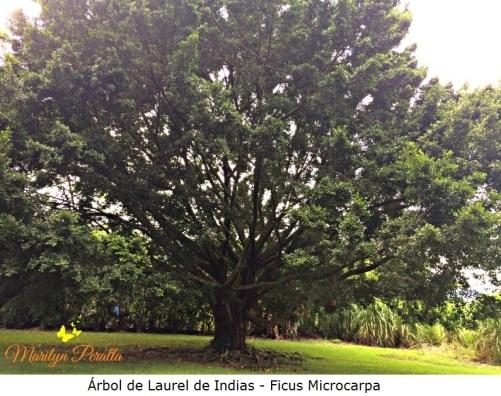 Arbol de Laurel de Indias