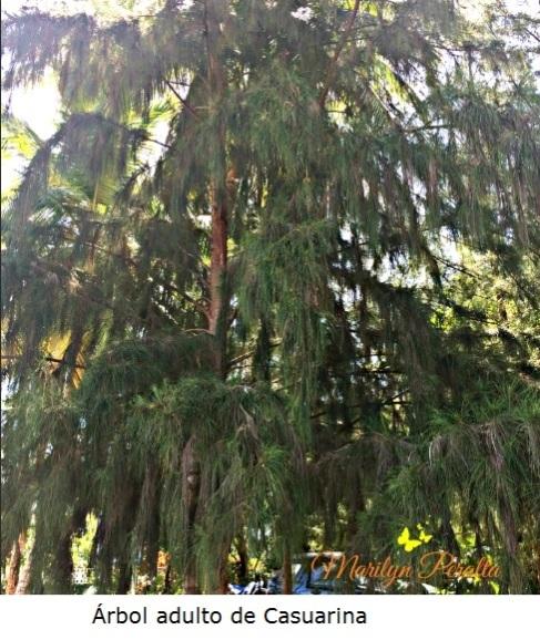 Árbol adulto de Casuarina