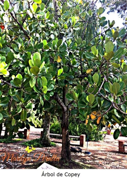 Árbol de Copey