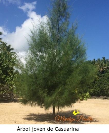 Árbol joven de Casuarina