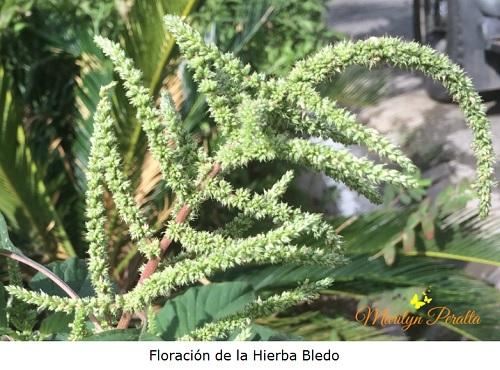 Floracion de la Hierba Bledo