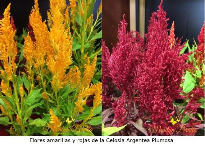 Flores amarillas y rojas de Celosia Plumosa