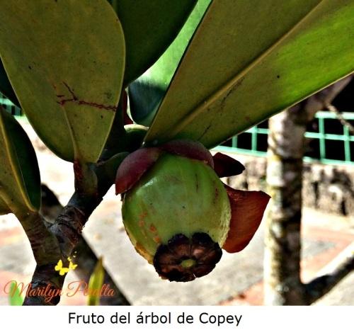 Fruto del árbol de Copey