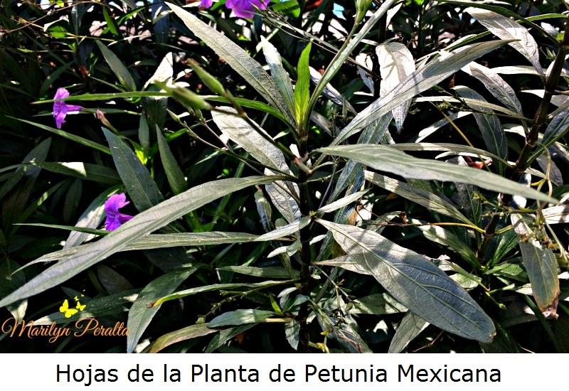 Hojas de la planta de Petunia Mexicana