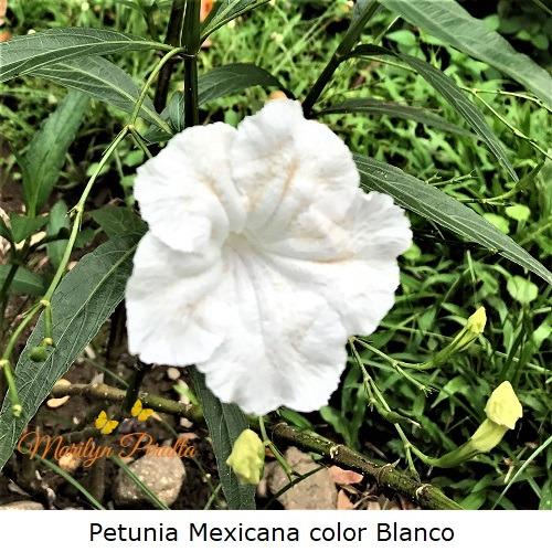 Petunia Mexicana color blanco