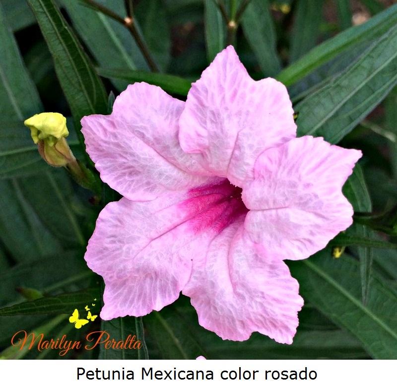 Petunia Mexicana color rosado