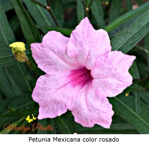 Petunia Mexicana color rosado