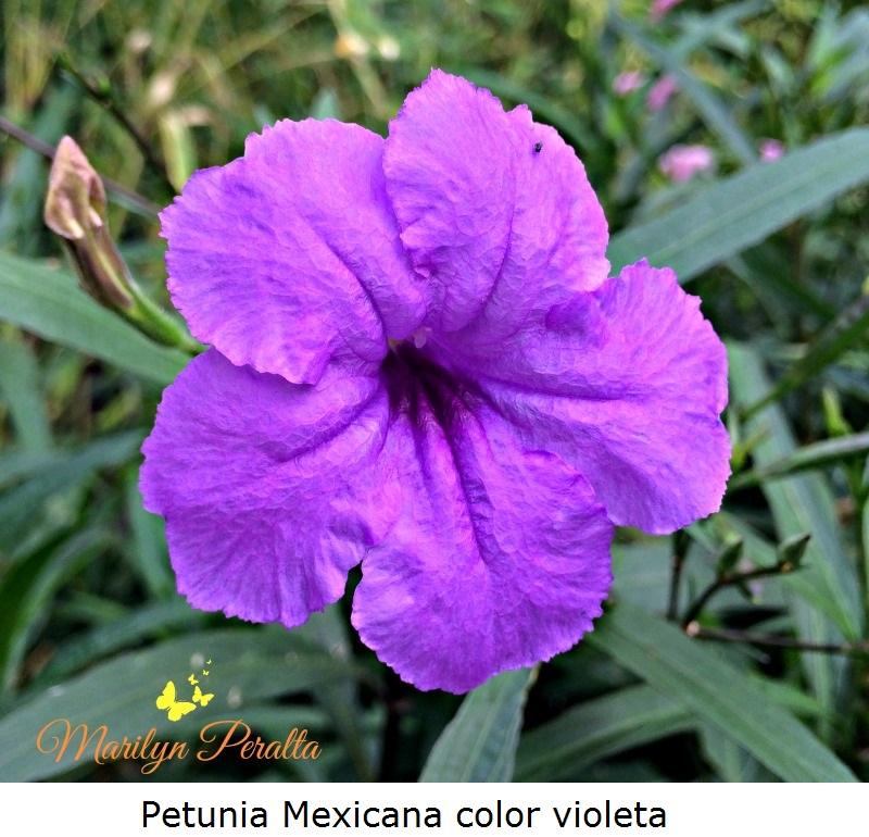 Petunia Mexicana color violeta