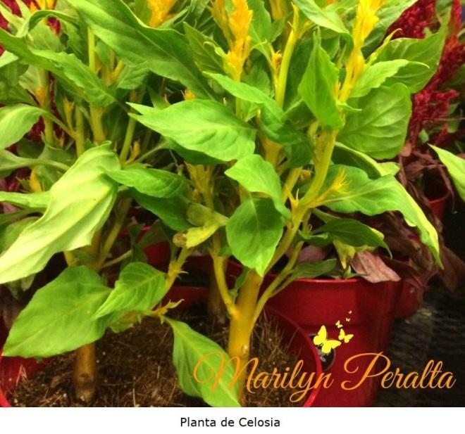 Planta de Celosía Argentea