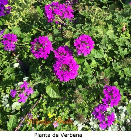 Planta de Verbena