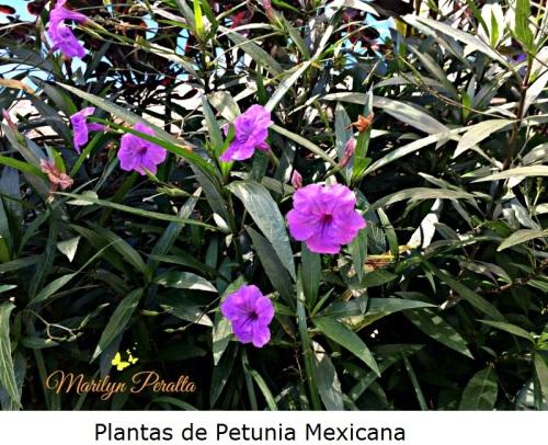 Plantas de Petunia Mexicana