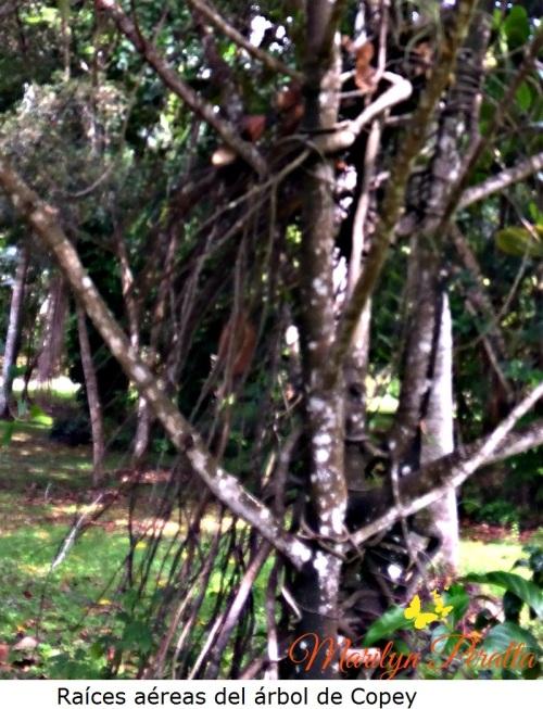 Raíces aéreas del árbol de Copey