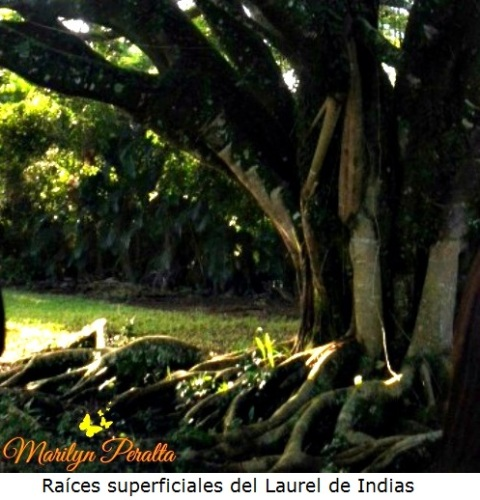 Raices del Ficus Microcarpa