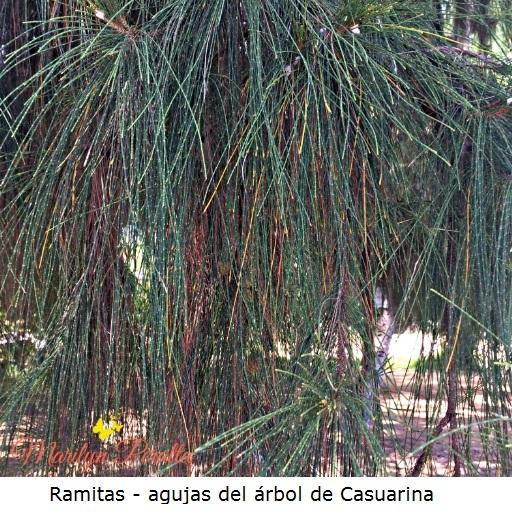 Ramitas - agujas del Arbol de Casuarina