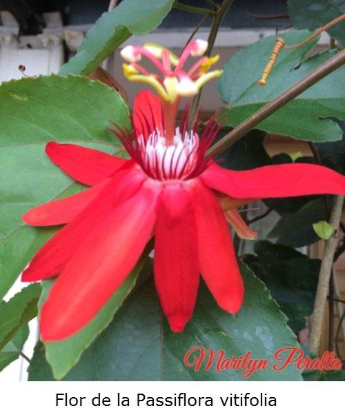 Flor de la Passiflora vitifolia
