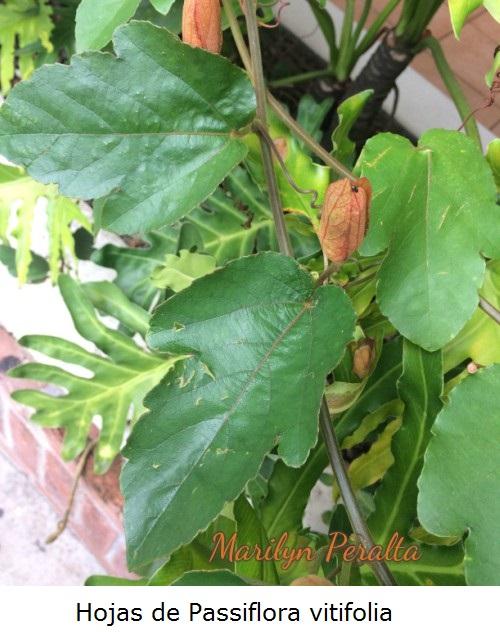 Hojas de Passiflora Vitifolia