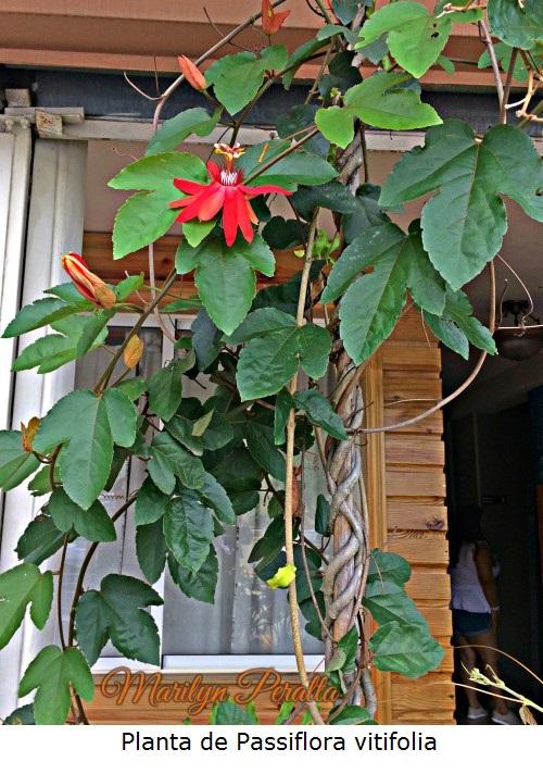 Planta de Passiflora vitifolia