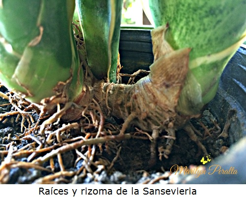 Raices y rizoma de la Sansevieria