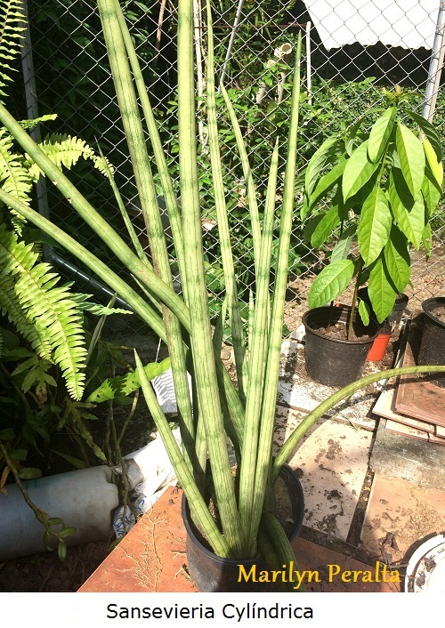 Sansevieria cylindrica