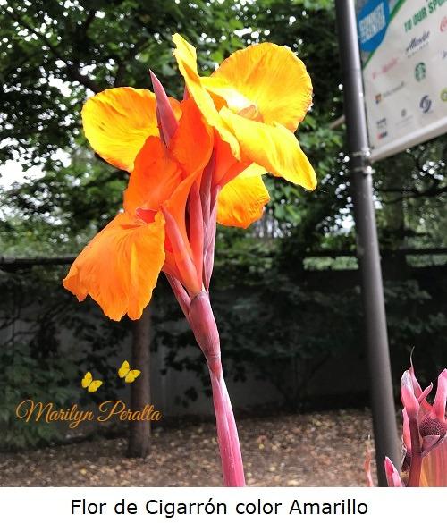 Flor de Cigarrón color amarillo