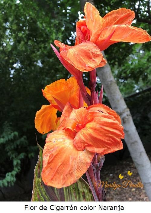 Flor de Cigarrón color naranja