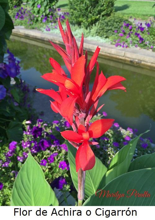 Flor de Cigarrón