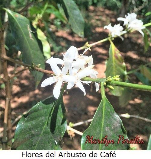 FloresdelarbustodeCafe