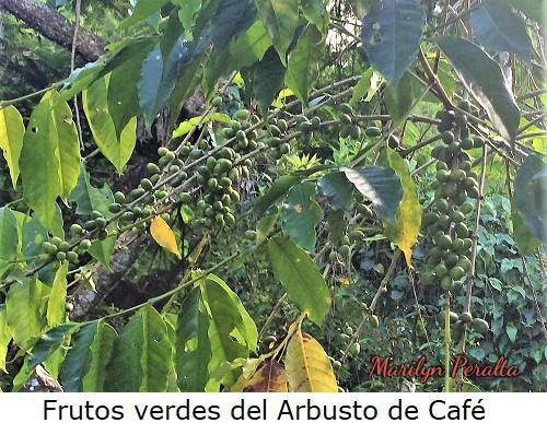 Frutosverdesdelarbustodecafe