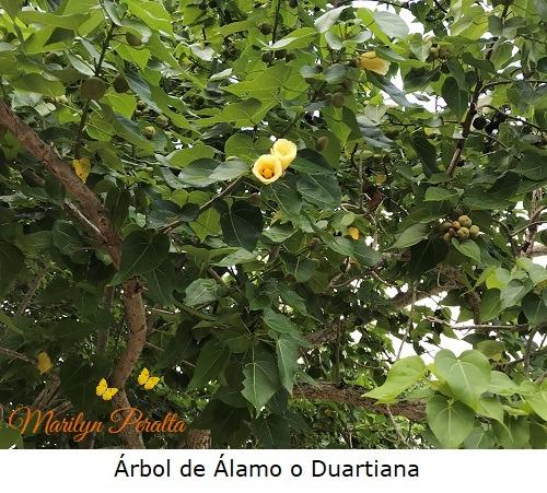 Arbol de Alamo