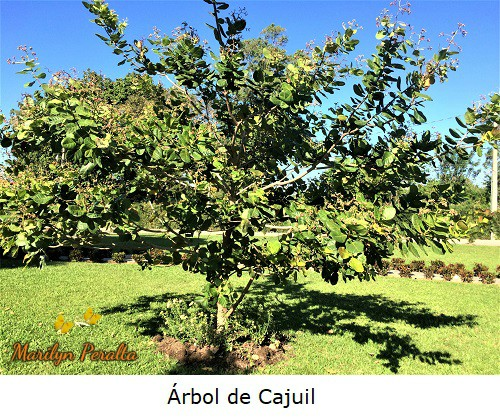 Arbol de Cajuil