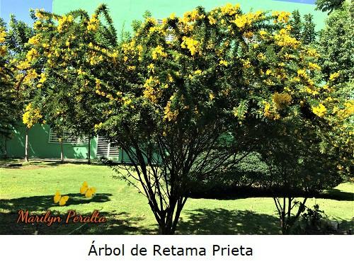 Arbol de Retama Prieta