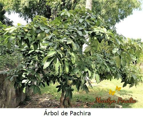 ArboldePachira