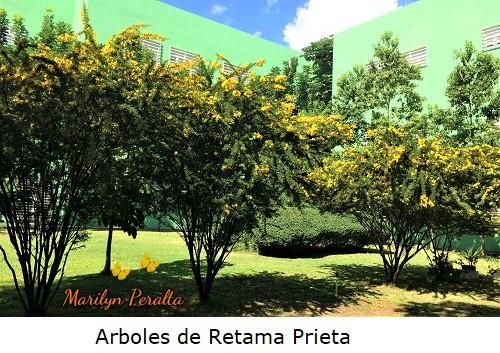 Arboles de Retama Prieta