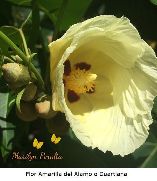 Flor Amarilla del Alamo o Duartiana