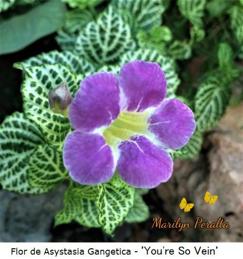 Flor de Asystasia Gangetica