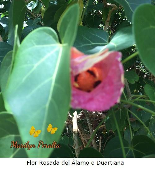 Flor rosada del Alamo o Duartiana