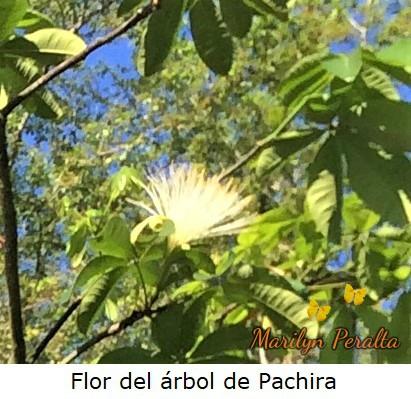 FlordelarboldePachira