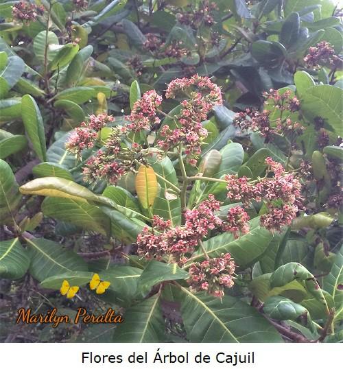 Flores del Arbol de Cajuil